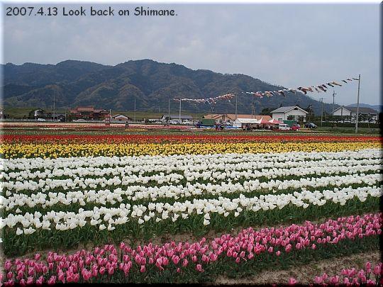 2007.04.13斐川町今在家チューリップ畑1.JPG
