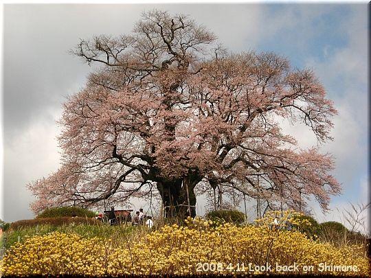 2008.04.11醍醐桜4.JPG